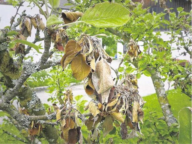 cox orange apfelbaum