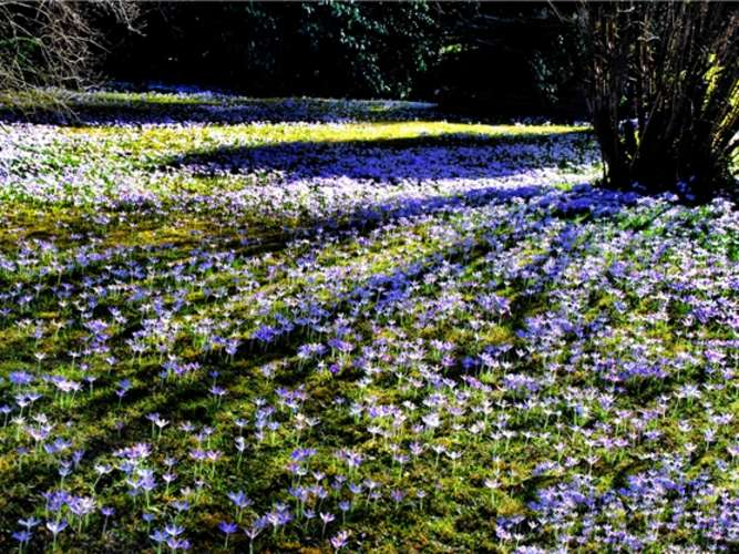 KrokusTeppich mit Tausenden von Blüten  Rosenheim Land