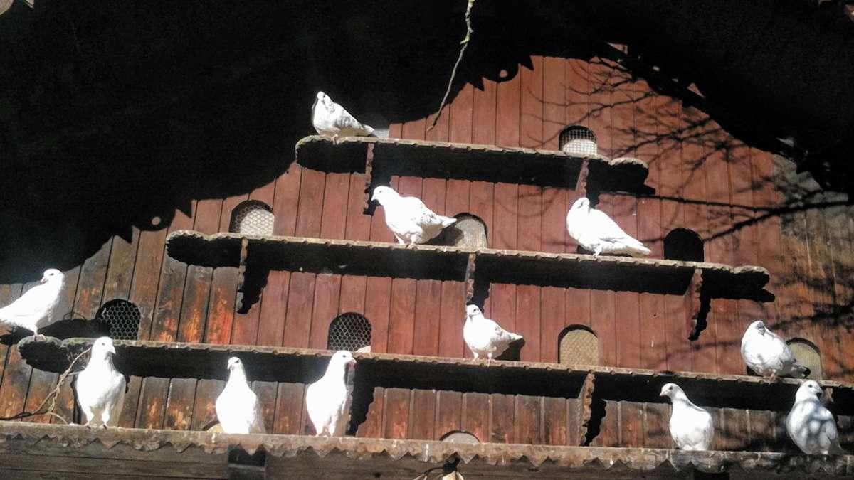 Lied Weiße Tauben Fliegen Nicht Mehr