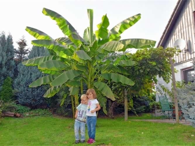 bananenbaum in raubling rosenheim land. Black Bedroom Furniture Sets. Home Design Ideas