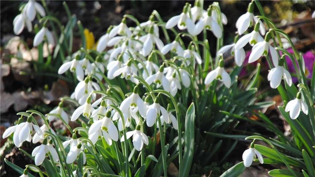 Top Frühlingsknotenblume oder Schneeglöckchen? | Rosenheim Land &IA_15